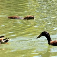 canard-castor-lac-animaux-borely