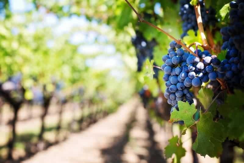 vigne-viticulture-activite-production-region