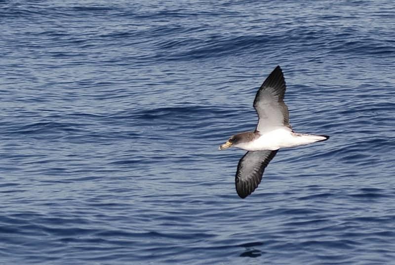 puffin-cendre-faune-calanque-riou