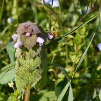 espece-abeille-sauvage-protection