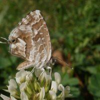 espece-papillon-parc-urbain