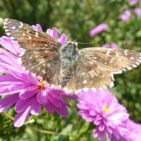 Différentes espèces de papillon