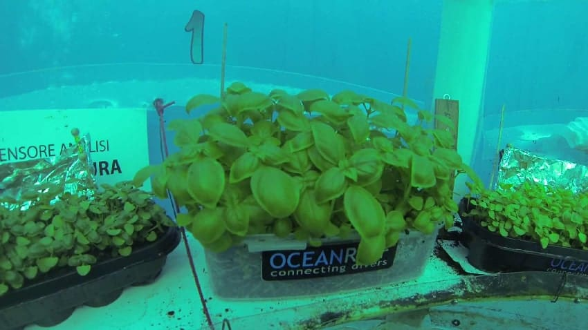 basilic-culture-aquaculture-eau-mer