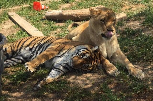 , Une «maison de retraite» pour tigres et lions vient d'ouvrir à Trets