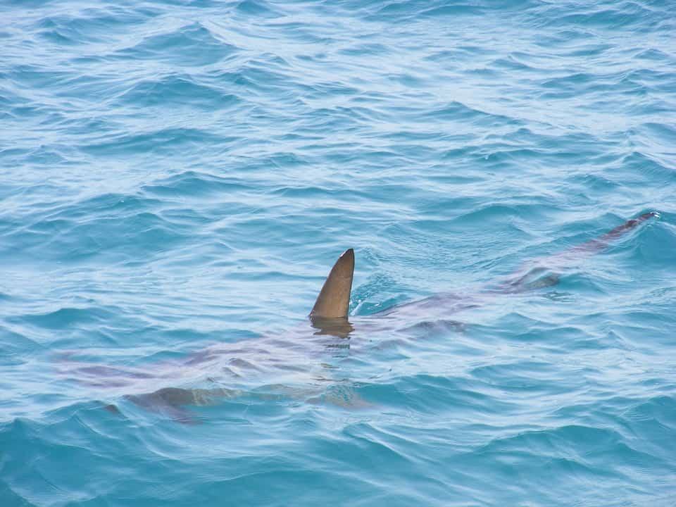 , Un requin de 6 mètres pêché puis relâché au large de Marseille