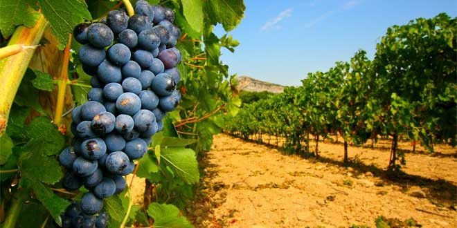 agriculture-vigne-vin-raisin-provence